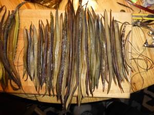 Laminaria - fingertang og palmetang, stilke
